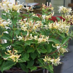 Lonicera japonica Blond and Beyond (Honeybaby) ® - Pépinière La Forêt