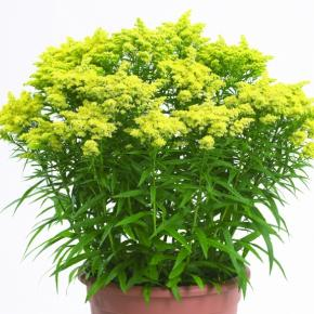 Solidago canadensis Sweety ® - Pépinière La Forêt