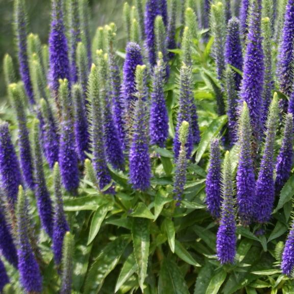 Veronica spicata Royal Candles Glory ® - Pépinière La Forêt